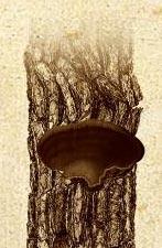 Yesquero de los pinos